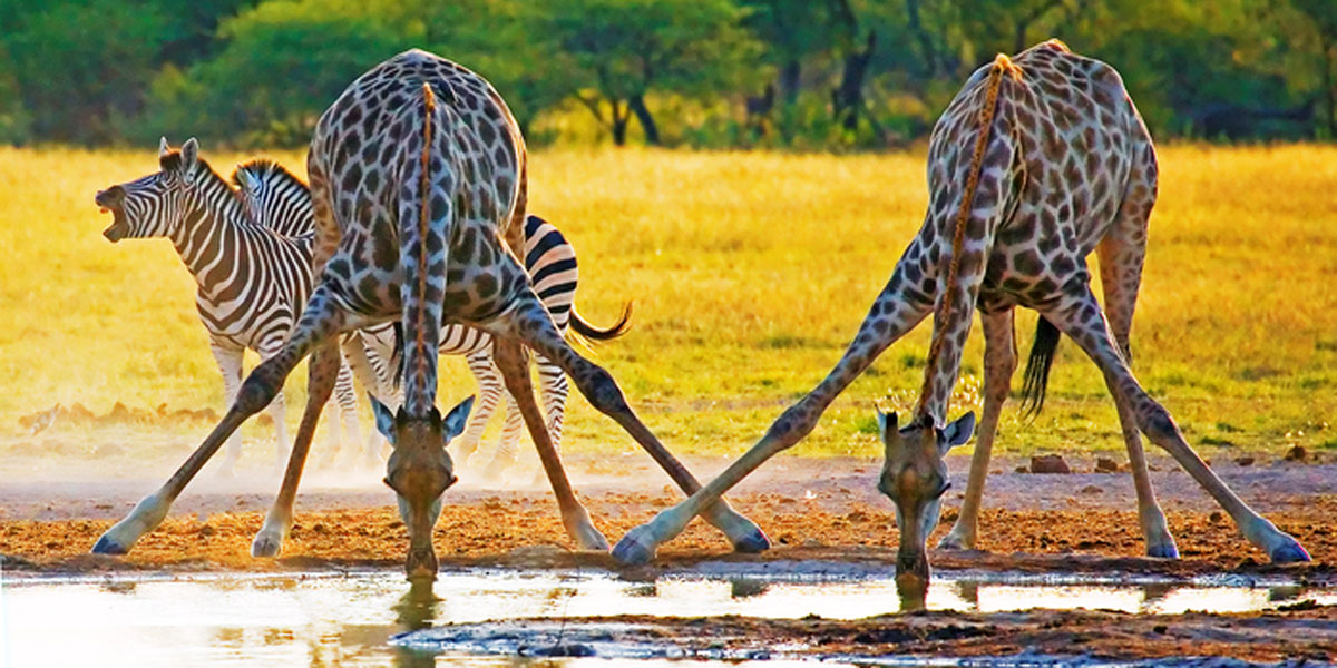 Giraffes-Photo