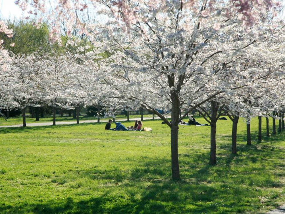 Subaru_Cherry_Blossoms.